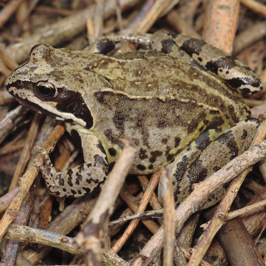 an in depth look at the amphibian in the order anura the frog Form and function common features  order anura (frogs) middle jurassic to present  although true viviparity has been described in the african frog .