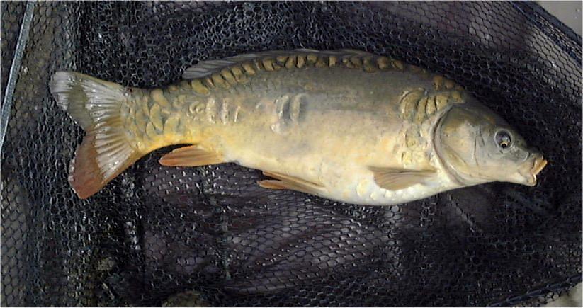 Fish Mirror Carp Cyprinus Carpio