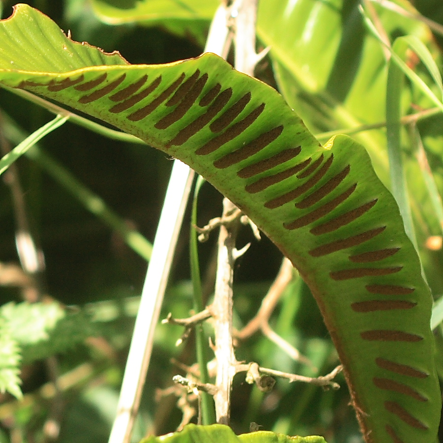 Harts Tongue Fern 100crop 12666