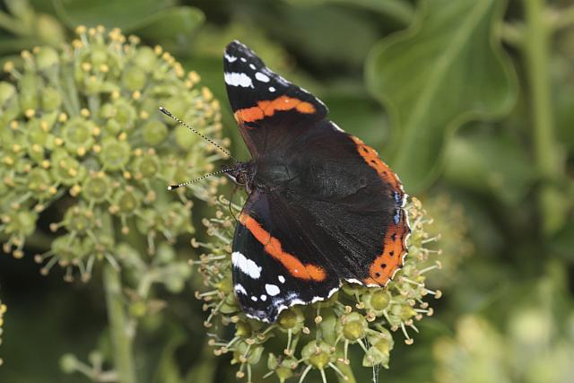 Red Admiral butterfly - 40d-12523