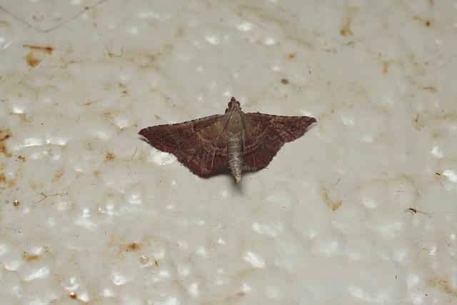 rosy-taby-moth-l60-40D8461