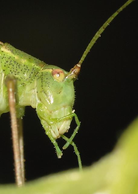 Speckled Bush Cricket side view of head