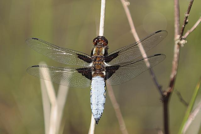 Broad-bodied chaser dragonfly - 40d-13837