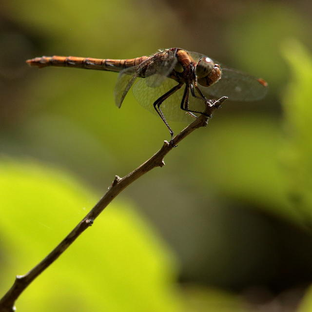 common-darter-sp180-50-6D03685