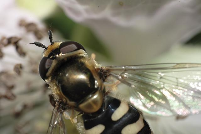 Eupeodes luniger (Hoverfly) Reversed 28mm lens Close-up