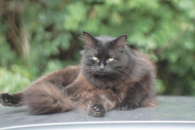 Black Cat on Car Roof