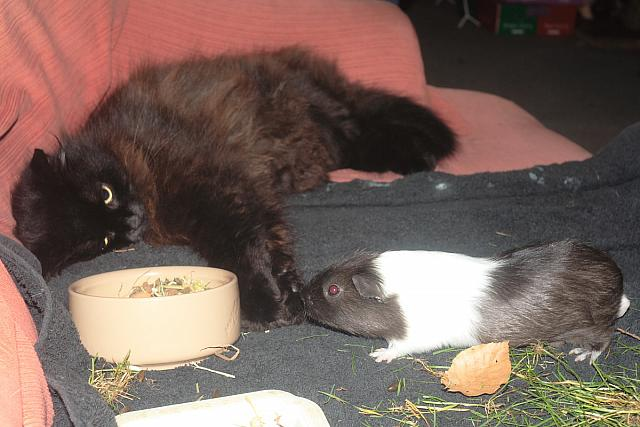 Cat and guinea pig - Lydith 30mm - Red eye - 8179