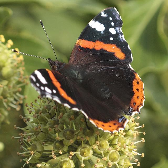 red-admiral-rodagon-150mm-50-40d-12511