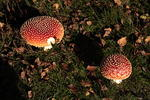 fly-agaric-fungi-l60-6D05919