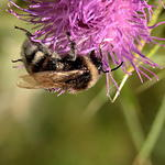 bee-bull-thistle-sp60-300-6D03191