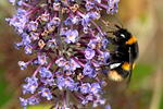 Buff-tailed bumblebee - 50-6D03353