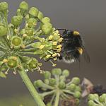White tailed bumblebee - 50-40d-12291