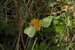 brimstone-sp28-80-6D00340