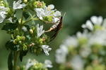 mint-moth-oregano-sp90x2-6D03067