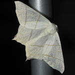 Swallow-tailed Moth - s-40D1563