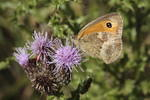 meadow-brown-elmarit60-50-40D08408