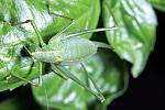 Speckled Bush Cricket on Basil Leaves