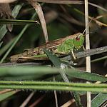 Meadow Grasshopper - 50-40d-08714