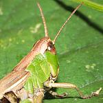 Meadow Grasshopper - 100% crop - 400d-12217