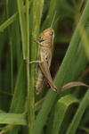 meadow-grasshopper-sp60-300-50-6D4506