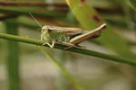 meadow-grasshopper-sp90-50-6D1407