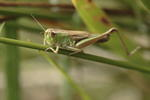 meadow-grasshopper-sp90-6D1406