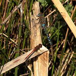 migrant-hawker-darter-sp60-300-50-6D05274