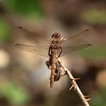 common-darter-sp180-50-6D03541