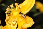 Hoverfly on Wet Yellow Fower