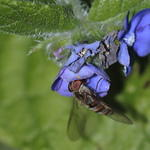 hoverfly-rodagon-150mm-40d-13453
