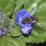 hoverfly-rodagon-150mm-40d-13458