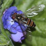 hoverfly-rodagon-150mm-40d-50-13457