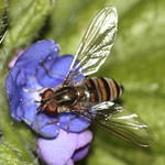 hoverfly-rodagon-150mm-40d-50-13458