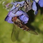 hoverfly-rodagon-150mm-50-40D13453