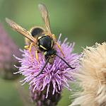 Vespula vulgaris on Cirsium arvense - 50% crop - 12140
