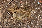 Common Frog - 50% crop - 12987