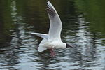 black-headed-gull-sp60-300-50-6D07273