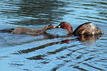 Little Grebe Feeding Young - 100-6D04360
