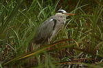 grey-heron-sp60-300-100-6D04897