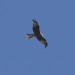 red-kite-sp60-300-100-6D1309