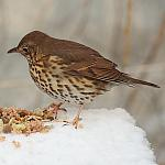 Song Thrush - 50% crop - 40d-00735