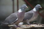 wood-pigeon-sp300x2-6D6425