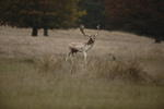 fallow-deer-stag-sp300-6D5340