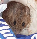 Muridae (rats mice and gerbils)