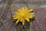 bristly-oxtongue-400D11553