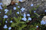 forget-me-nots-sp28-80-6D6586