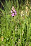 spotted-orchid-sp60-300-6D07400