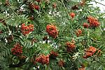Mountain-ash tree with Red Berries - 12229