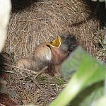 Robin Chick - Elmarit-R 60mm - 100% crop - 10305