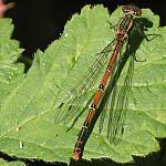 10334 - Damselfly - Panagor AMC + Meopta Anaret S 50mm - 50-400D-10334.JPG
